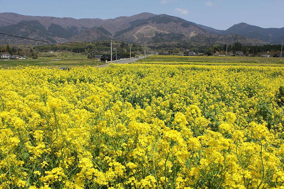 菜の花畑のフリー写真画像素材イラストフォト